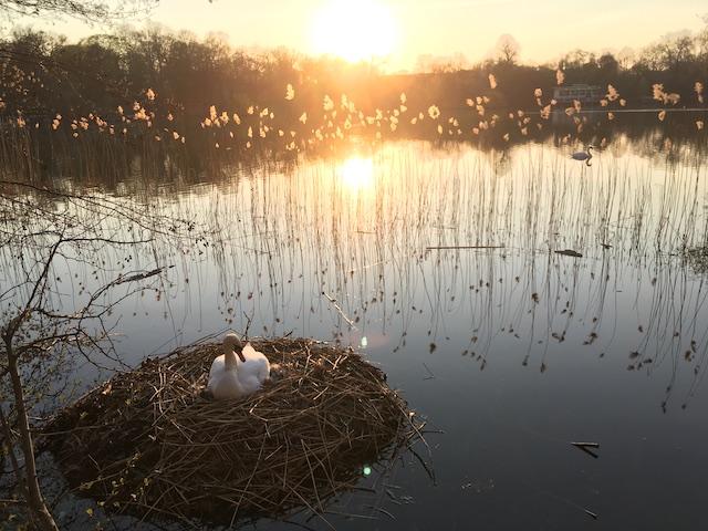 湖に浮かぶ白鳥の巣と、それを照らす夕陽
