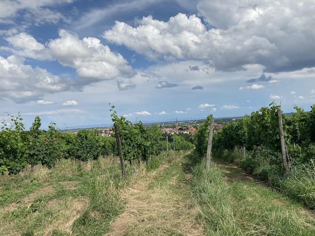 傾斜のある土地に、直線状に綺麗に並んだ葡萄の木